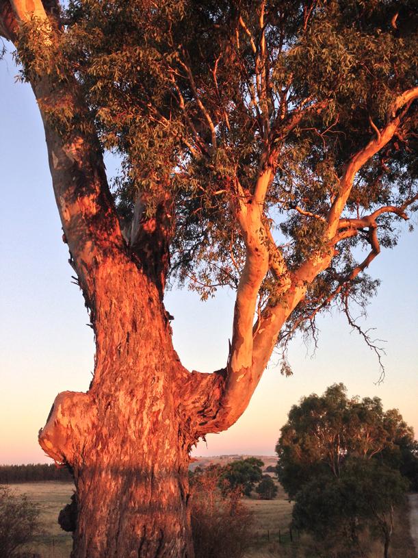 FLINT eucalyptus 4