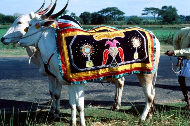 Nell-india.oxen 9